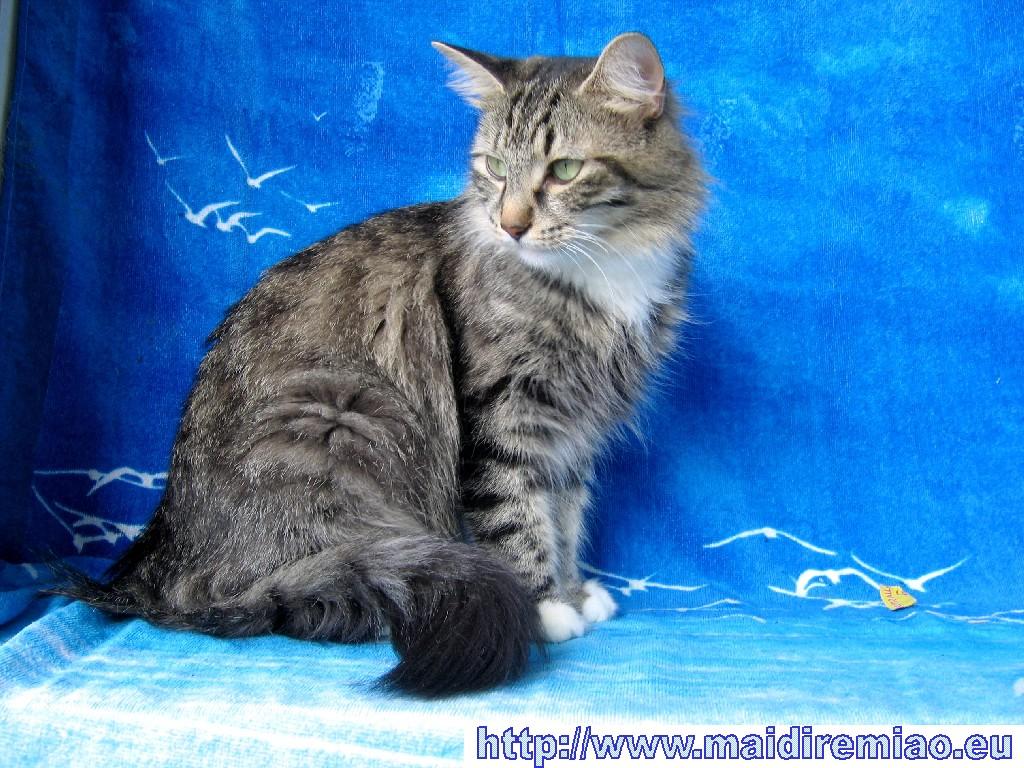 Foto gratis per sfondi desktop gatti foreste norvegesi for Sfondi desktop gatti
