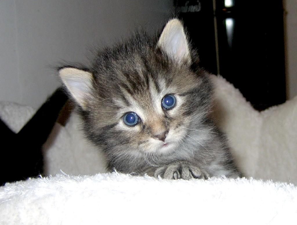 Cucciolo gatto norvegese desktop 28 - 1024 x 768