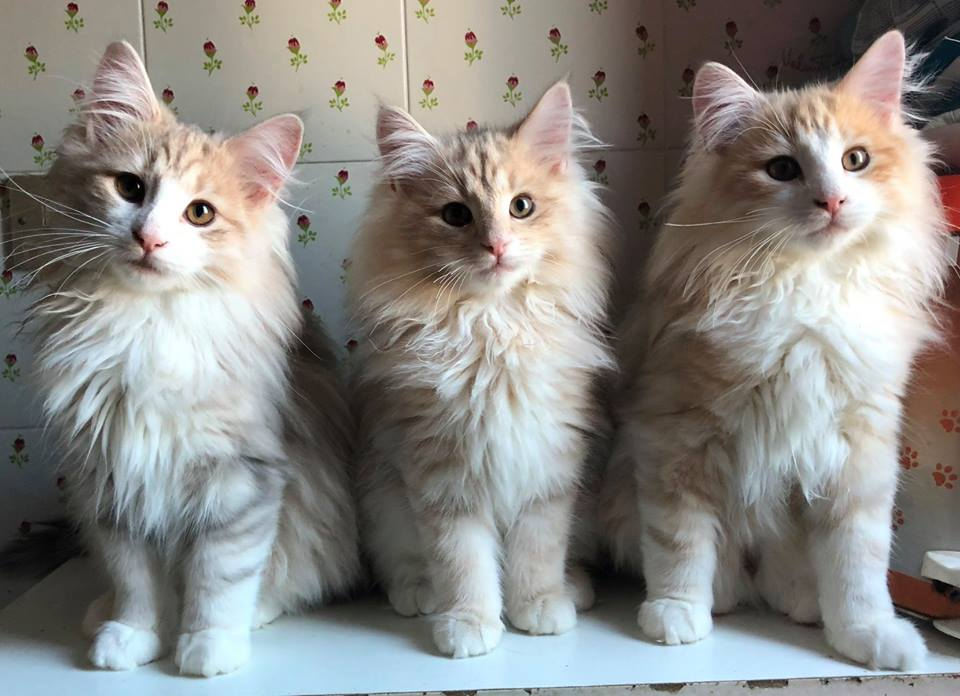 Cuccioli Gatti Norvegesi Norwegian Forest Cat Kittens Available